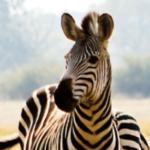 zebra safariresa vinn